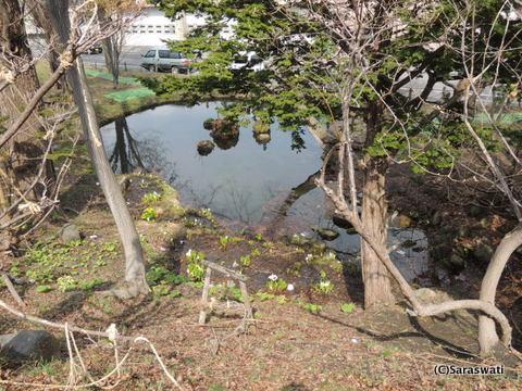 小樽公園の水芭蕉