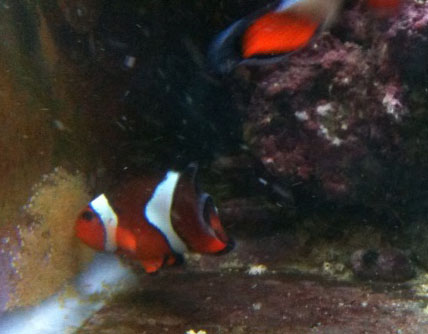 clownfish breeding eggs developing on glass