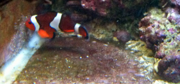 clownfish breeding day 6