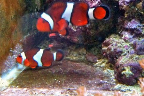 breeding the clownfish