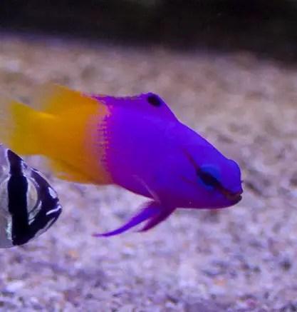 royal gramma marine fish
