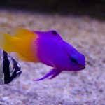 royal gramma marine fish