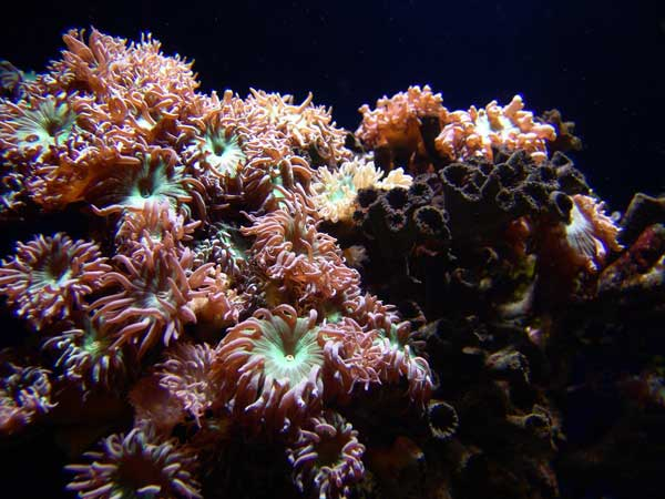 duncan coral public domain