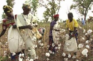 Légère progression de la production de coton au Sénégal