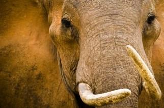 L'inexorable déclin des éléphants d'Afrique