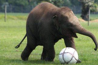 Pourquoi tant de noms d'animaux pour désigner les équipes africaines ?