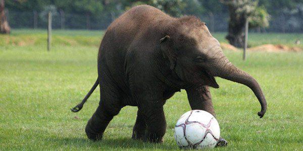 Pourquoi tant de noms d'animaux pour désigner les équipes africaines