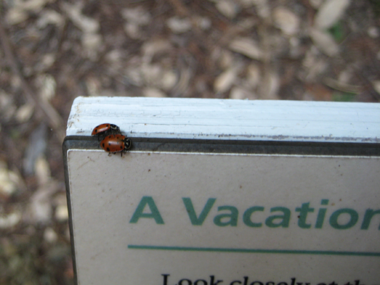 Ladybugs at Muir Woods