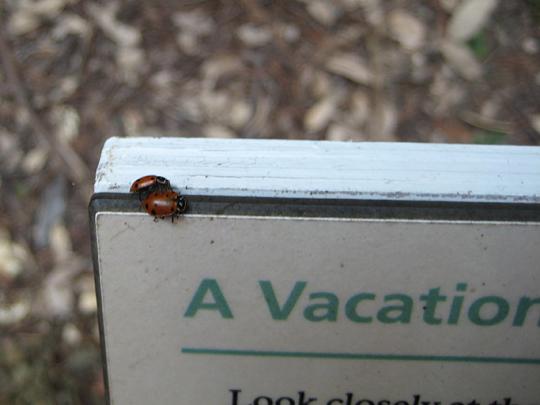Ladybugs at Muir Woods