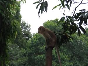 Big Cheeky Monkey
