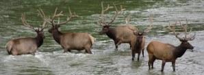 Moose & Elk in Rocky Mountain National Park