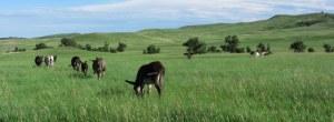 Wildlife in Custer State Park
