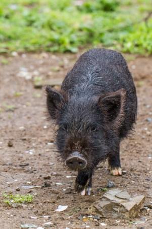 309 Road - Stuart's pigs