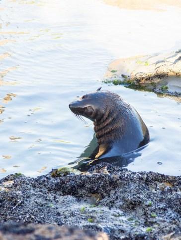 Wharariki Beach Playful Seal