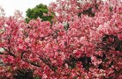 Sakura 11 OKOKOK