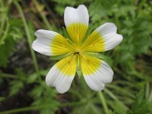 five petal flower