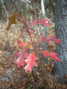 Photo of fall color (leaves) in winter.
