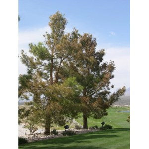 Sunshiny Pine Tree Damaged By Weed Lawns Feed Hurts Trees San Antonio Tree Surgeons Weed Killer