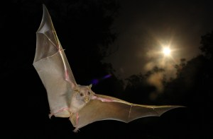 Although fruit bats such as this one were thought not to be able to echolocate, new research finds that some fruit bats can use sonar clicks from their wings to navigate in the dark. Credit: Current Biology, Boonman et al.