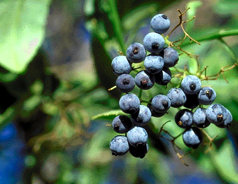 Caprifoliaceae (Honeysuckle fily) Mostly evergreen ornamental tree