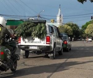 Gendarmería secuestró una enorme planta de marihuana en el patio de una vivienda