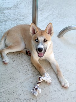 Endearing Physical Traits Husky Shepherd Mix Dog A Blend Two Breeds Husky Chow Mix Full Grown Chow Husky Mix Black