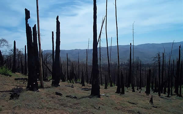 Dead Conifers on West Mesa after Cedar Fire (May, 2004)                          Photo by Heather Karnes-Schmalbach