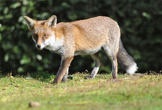 Fox crosses path