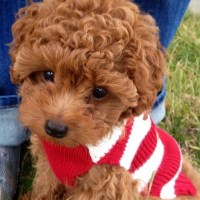 Male and female poodle puppies for rehoming