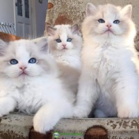 Male and female Ragdoll Kittens available for adoption