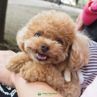 Val adorable poodle puppies for sale