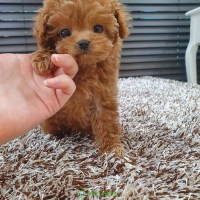 Teacup poodle puppies for sale