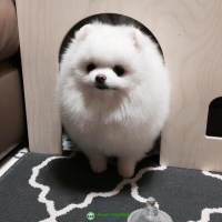 Adorable Pomeranian puppies for rehoming