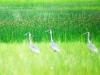 Даурские журавли в пойме р. Зуткулей, Забайкальский край. Фото О.А. Горошко