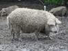 Свинья венгерская мангалица