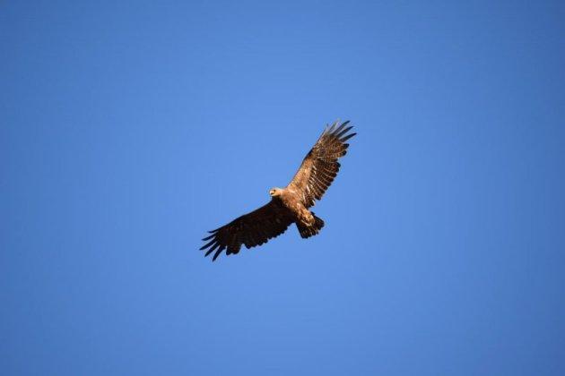 Степной орел. Фото Р. Меджидова