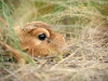 Saiga newborn lies in the steppe grasses of Cherniye Zemly (Black Earth) Nature Reserve, Kalmykia, Russia, May 2009. Photo by Igor Shpilenok