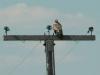 Молодой степной орёл на опоре птицеопасной ЛЭП, оснащённой ПЗУ. Фото И. Карякина