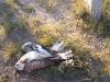Погибший от поражения электротоком мохноногий курганник. Забайкальский край. Сентябрь 2010. Фото О.А. Горошко