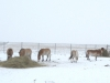 Подкормка лошадей Пржевальского, Оренбургский заповедник. Фото Т. Жарких