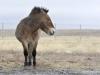 Лошадь Пржевальского, Оренбургский заповедник. Фото Н. Судец