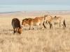 Лошади Пржевальского объединены в семейную группу, Оренбургский заповедник, 28 ноября 2015 г. Фото Н. Судец
