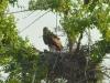 Молодая самка орла могильника из пары со степным орлом на гнезде с птенцами, Актюбинская область. Фото И. Карякина