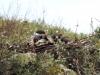 Птенцы степного орла в гнезде, 04.08.2015, Забайкальский край. Фото А. Барашковой