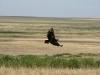 Степной орел над степью. Малая Хобда, Оренбургская область. Фото А.Н. Барашковой