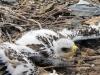 Птенец степного орла. Фото А.Н. Барашковой