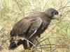 Птенец степного орла у гнезда в куче проволоки. 20 июня 2010. Республика Калмыкия. Фото Р.А. Меджидова