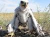 Птенец степного орла, помеченный кольцами 28 июня 2015 г. Актюбинская область. Фото И. Карякина