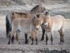 Разработка рабочего проекта реинтродукции лошади Пржевальского на особо управляемой степной территории «Оренбургская Тарпания»
