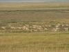 Оценка численности и основных факторов, влияющих на состояние популяции дзерена в Забайкальском крае